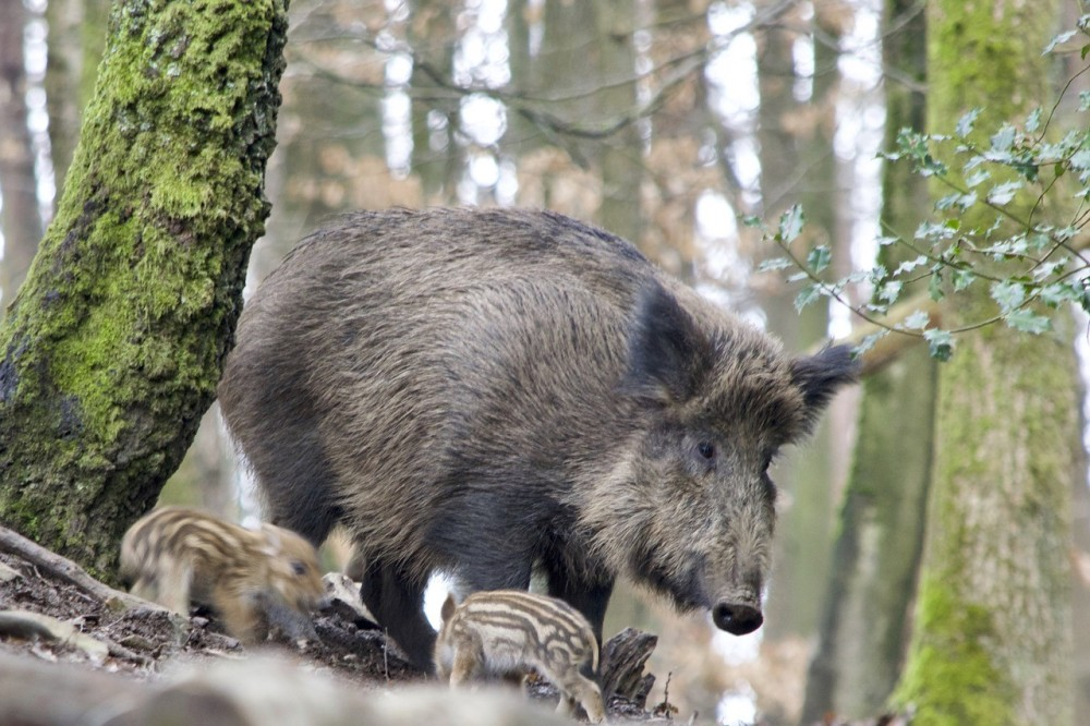 boar-3284138_1280